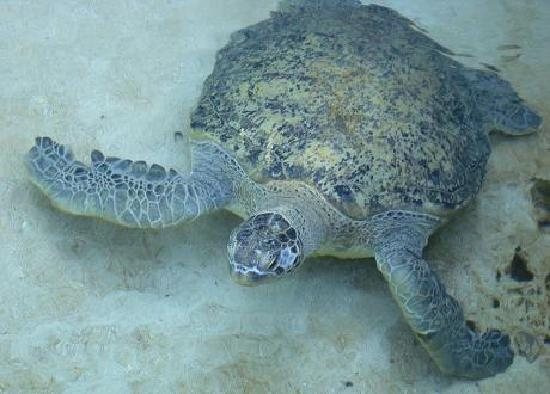 Charlie the resident sea turtle